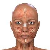 Żeńska twarz mięśni anatomia Zdjęcia Royalty Free