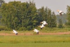 Eskader van Amerikaanse witte pelikanen die tijdens de zomer in het Crex-Gebied van het Weidenwild vliegen - hoofdzakelijk het ge stock afbeelding