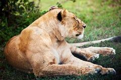 Żeński lwa lying on the beach. Serengeti, Tanzania Obraz Royalty Free