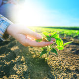 Żeńskie rolnik ręki w soi polu, odpowiedzialny uprawiać ziemię Zdjęcia Stock