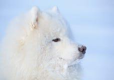 Eskimo dog is buried under snow. Eskimo dog on blue background Royalty Free Stock Photo