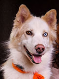 Eskimo dog. With different eyes Stock Photos