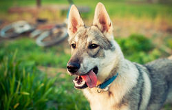 Eskimo dog. Funny little wolf wants to play Royalty Free Stock Photography
