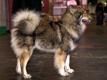 Eskimo Dog standing Royalty Free Stock Image