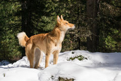 Eskimo dog. The stands in the snow on a Sunny day in the forest and looking up Royalty Free Stock Image