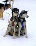 Eskimo dogs. Two Eskimo dogs (huskies), sled dogs, north stock photos