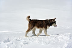 Eskimohond op Elbrus Royalty-vrije Stock Foto