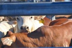 Esmagamento Austrália do gado Fotografia de Stock Royalty Free