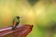 esmeralda Cobrizo-dirigida, Costa Rica Imágenes de archivo libres de regalías