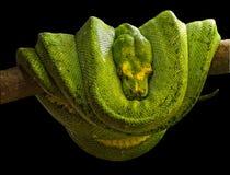 Esmeralda de boa (caninus de Corallus) Photo libre de droits