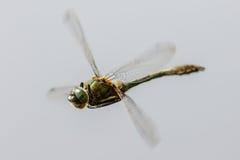 Esmeralda suave (aenea de Cordulia) Imagen de archivo libre de regalías