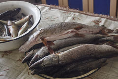 Esocidac, pike, scaled fish on table. iron basins. Russian fishing, real fish Royalty Free Stock Photos