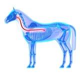 Esofago del cavallo - anatomia di equus del cavallo - isolato su bianco royalty illustrazione gratis
