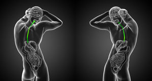 Esophagus. 3d render medical illustration of the esophagus Royalty Free Stock Photography