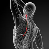 Esophagus. 3d rendered illustration of the esophagus Royalty Free Stock Photos