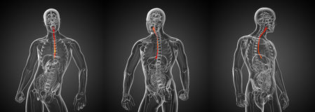Esophagus. 3d rendering illustration of the esophagus Stock Photos