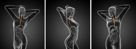 Esophagus. 3d rendering  illustration of the esophagus Royalty Free Stock Photography