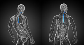 Esophagus. 3d rendering illustration of the esophagus Royalty Free Stock Image