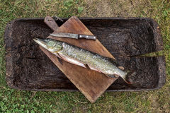 Esox lucius Crude brushed Pike fish ready for frying, on a cutti. Ng board on a nature background Stock Images