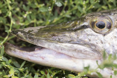 Esox lucius - pike fish close up in green grass Royalty Free Stock Photo