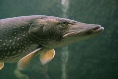 Esox (pike fish). Esox is a freshwater fish. They have been found in many urban lakes in Western Europe, reported to be in the Rostrum (Lucerne) and the Stock Images