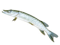 Esox. Spotted pike. Stock Photo