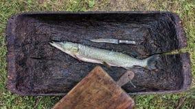 Esox vissen de lucius Ruwe geborstelde Snoeken klaar voor het braden, op een cutti Royalty-vrije Stock Afbeelding