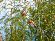Espárrago de jardín decorativo con las frutas Imagen de archivo libre de regalías