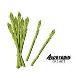 Espárrago de la historieta Verdura verde madura Vegetariano delicioso Alimento biológico de Eco Diseño plano del vector, aislado  ilustración del vector