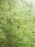 Espárrago verde Foto de archivo