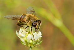Espèce de mouche semblable à l'abeille sur une fleur Photographie stock