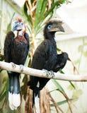 Espèce des hornbills d'oiseaux Photographie stock libre de droits