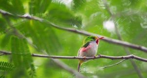 Espèce endémique cubaine de Tody (Todus multicolore) Photo stock