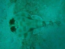 Espèce marine Photo libre de droits