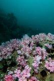 espèce marine autour du récif coralien au sommet de Hin Khao près de Bara Photos stock