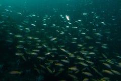 espèce marine autour du récif coralien au sommet de Hin Khao près de Bara Image stock