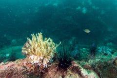 espèce marine autour du récif coralien au sommet de Hin Khao près de Bara Photographie stock