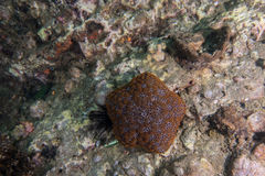 espèce marine autour du récif coralien au sommet de Hin Khao près de Bara Photo libre de droits