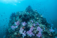 espèce marine autour du récif coralien au sommet de Hin Khao près de Bara Photographie stock libre de droits