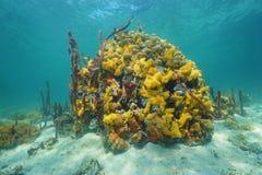Espèce marine colorée sous-marine dans un récif coralien Photo stock