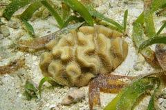Espèce marine de corail d'areolata de Rose Manicina Photo stock