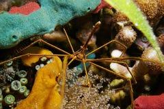Espèce marine de crabe de flèche de Yellowline sous-marine Images libres de droits