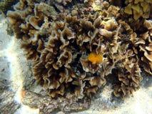 Espèce marine exotique Image libre de droits