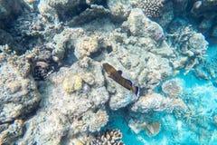 Espèce marine exotique près d'île des Maldives Photos libres de droits