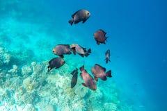 Espèce marine exotique près d'île des Maldives Image libre de droits