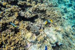 Espèce marine exotique près d'île des Maldives Image stock