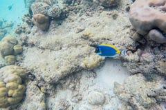 Espèce marine exotique près d'île des Maldives Images libres de droits