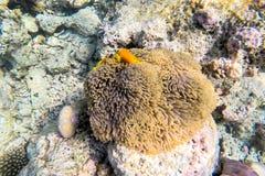 Espèce marine exotique près d'île des Maldives Images stock