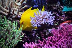 Espèce marine jaune d'aquarium de mer de poissons Photographie stock libre de droits