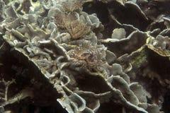 Espèce marine sous-marine Image libre de droits